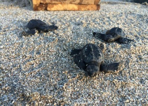 Three newly hatched Olive Ridley sea turtles crawl across sand.