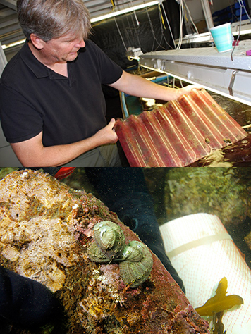 Top: Man with rack holding red algae and sea snails. Below: Abalone on seafloor