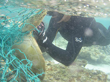 OAA divers cut a Hawaiian green sea turtle free from a derelict fishing net.