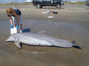Scientist records data on a dead dolphin on a beach.