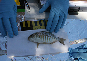 Fish being measured on a table.