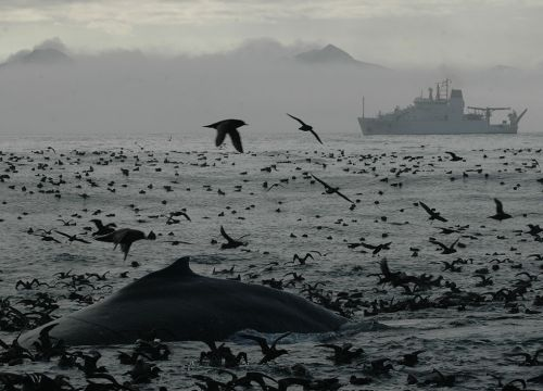 Humpback whale and seabirds at surface of Bering Sea with NOAA ship beyond.