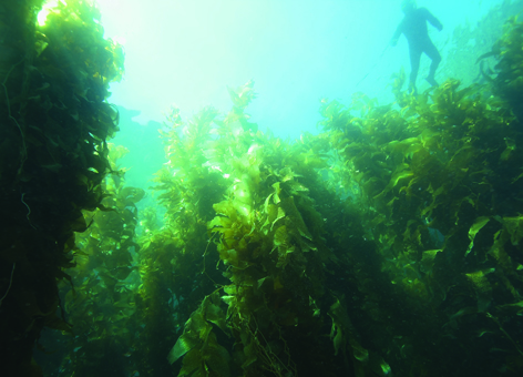 Healthy kelp forest in southern California.
