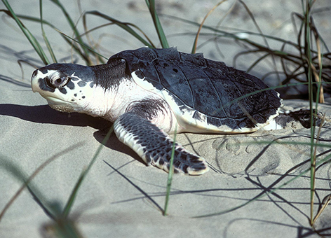 Kemp's Ridley sea turtle on a beach in Texas.