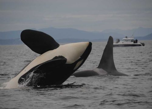 Two killer whales (orcas) breach in front a boat.