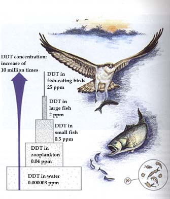 How the pesticide DDT is magnified as it moves up the river food chain.