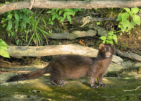 Mink at Bombay Hook National Wildlife Refuge.