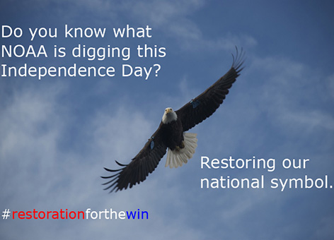 Bald Eagle in flight with text, Restoring our national symbol.