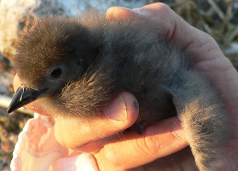 Seabird chick in a person's hand.
