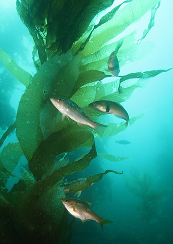 Kelp forest with fish.