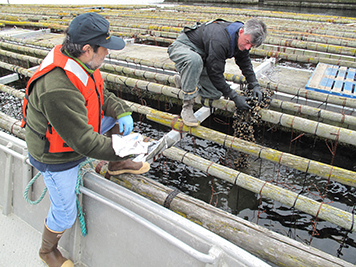 NOAA and Penn Cove Shellfish Co. staff sample raft-grown mussels.