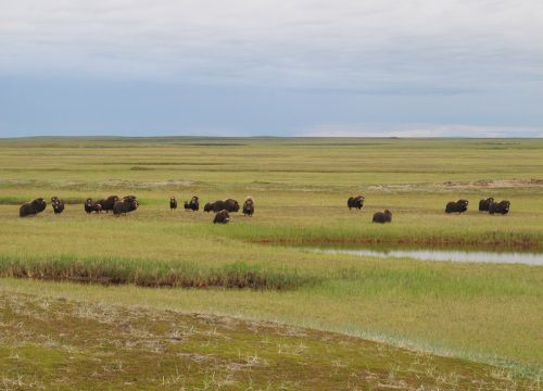 Muskoxen near the scientists' field camp on Alaska's Espenberg River.