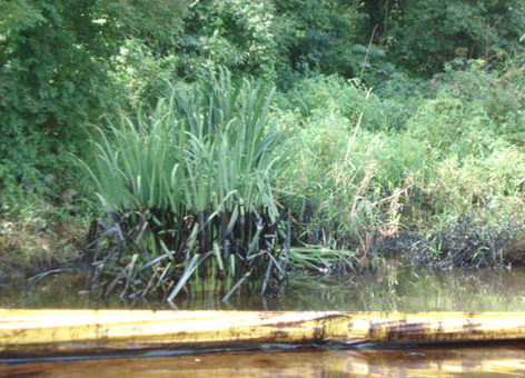 Oiled river vegetation with containment boom.