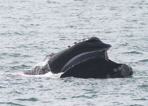 A North Atlantic right whale's mouth is visible at the ocean surface.