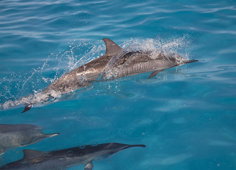 Dolphin pod swimming.