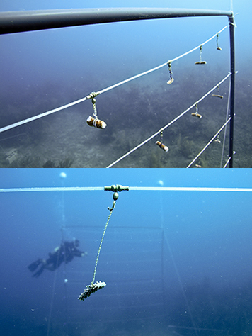 Coral fragments hang from a line underwater and a diver in the background.