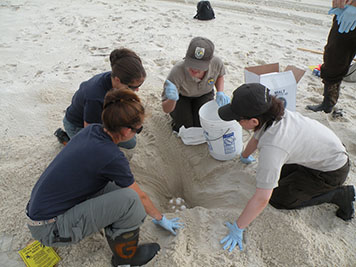 Scientists examining a sea turtle nest on a sandy beach.