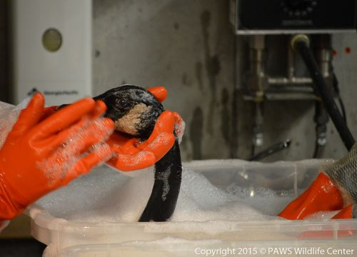 Closeup of an oiled Canada goose in a wash tub while gloved hands wash it.