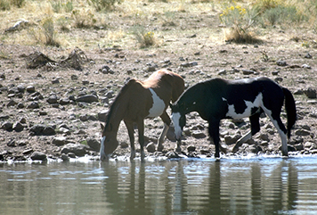 Wild horses drinking at a stream in Oregon.