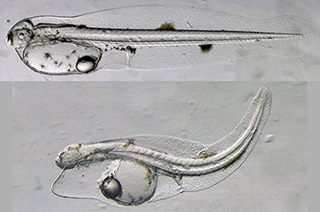 Normal yellowfin tuna larva (top) and abnormal larva exposed to oil.