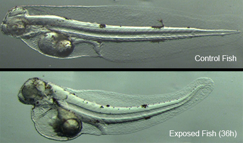 Top fish without oil, bottom fish with oil.