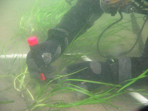 Diver underwater planting eel grass.