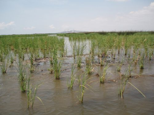 Tall grass growing in muddy marsh.
