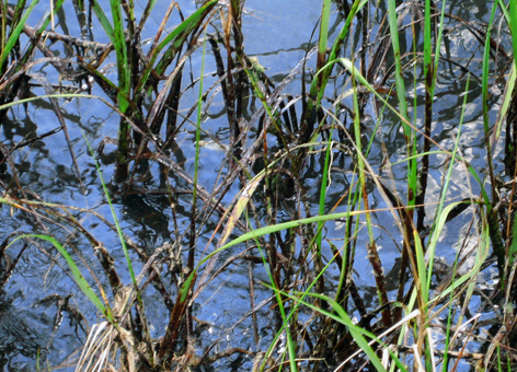 Oil in marsh vegetation during the 2010 Deepwater Horizon/BP oil spill.