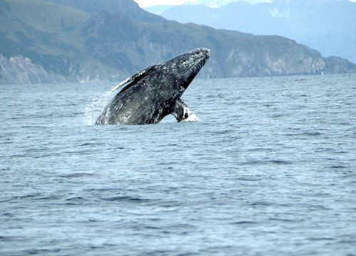 Grey whale breaching. Image credit: NOAA