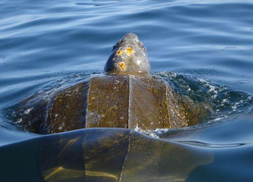 Leatherback sea turtle swimming. Image credit: NOAA.