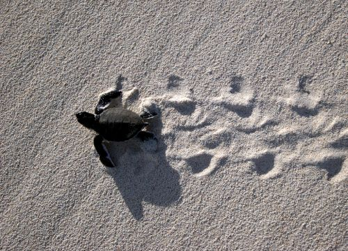Small turtle on sand with turtle tracks.