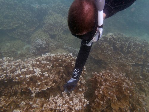 Scuba diver reaching towards coral.