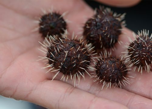 Tiny spikey sea urchins in palm of a hand.