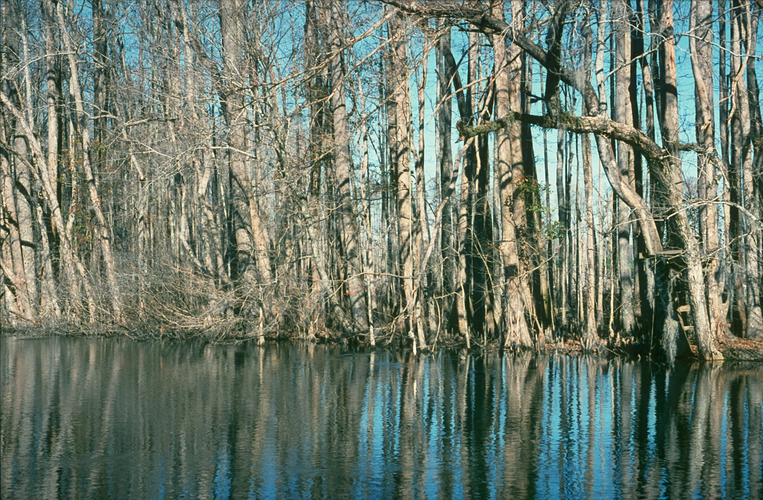 Photo: Trees in swamp.