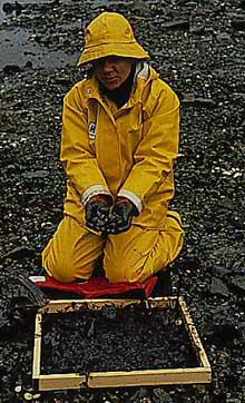 Photo: NOAA biologist examines live adult clams from oiled beach.