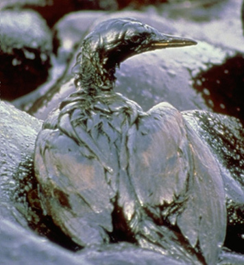 Photo: Oiled cormorant on a rocky, oil-covered shore.