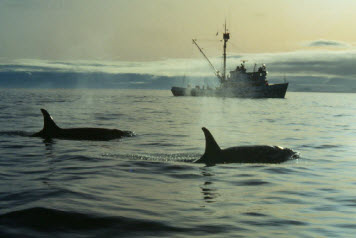 Two killer whales (Orcinus orca) in foreground; fishing vessel in background.