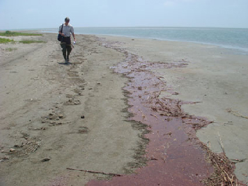 Response worker walks shoreline to assess oiling.