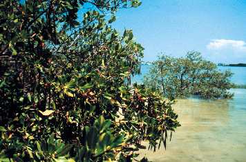 Mangroves along the shoreline.