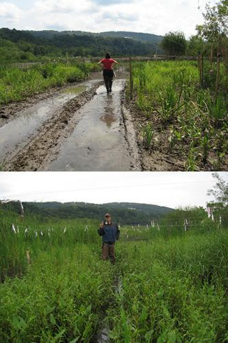 Photo: A before and after picture of a wetland restoration project.