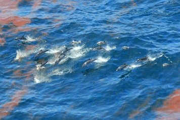 Photo: Dolphins swim thru patches of oil.