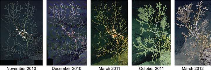 Five photos of deep-sea coral showing the progression of impacts over several years.