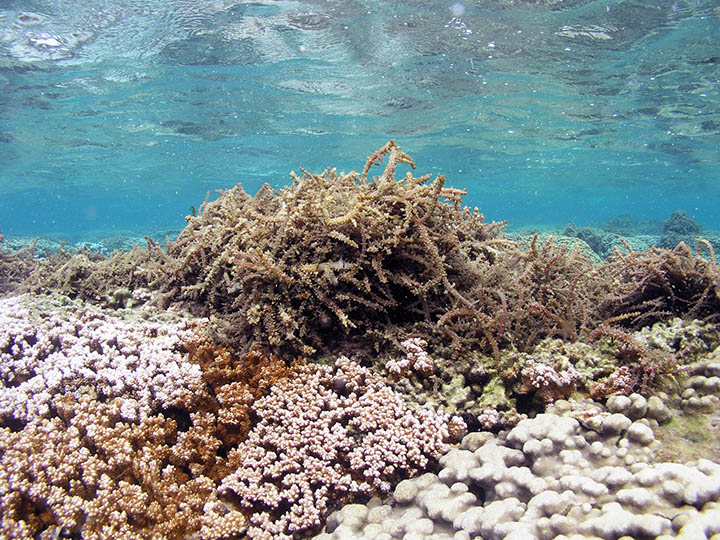 Tumbleweed-like clumps of invasive algae on a coral reef.