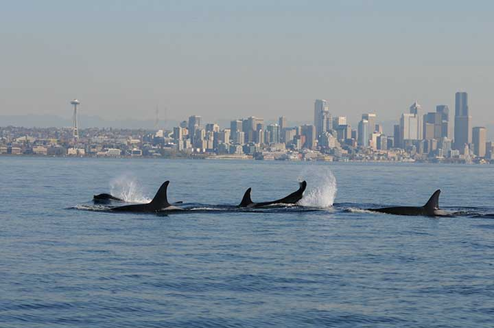 A pod of killer whales swims through Puget Sound in front of the Seattle skyline.