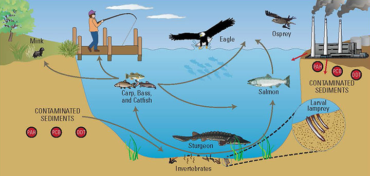 Some of the pathways that contaminants follow as they move up through the food web in Oregon's Portland Harbor.