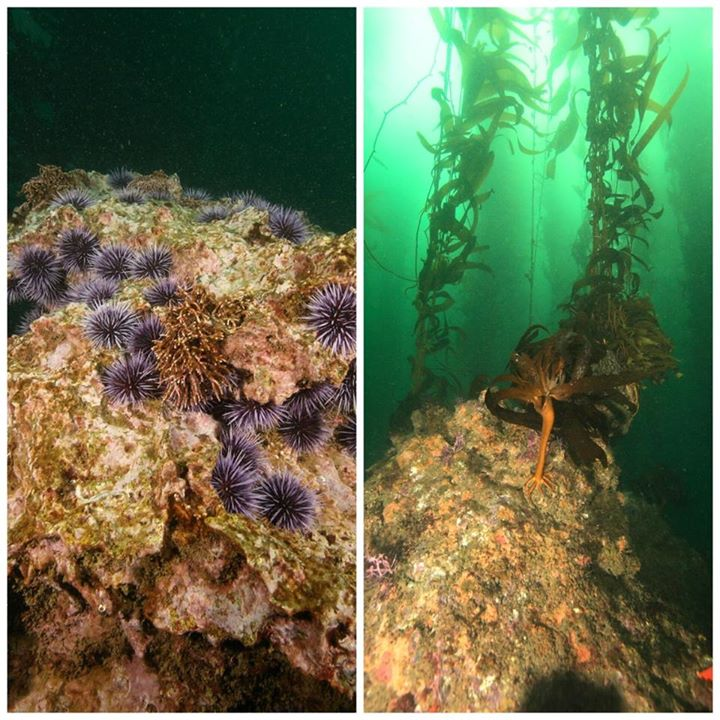 Left, purple sea urchins on a rocky reef. Right, young kelp growing tall.