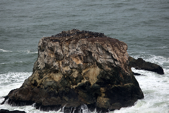Colony of murres on a rocky outcropping on the California coast.