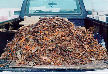A large pile of dead lobsters in the bed of a pickup truck.