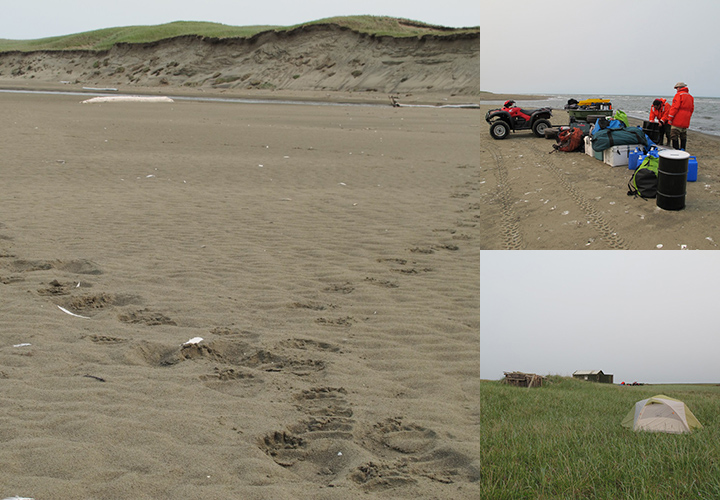 Left: Bear tracks on the beach in front of the field camp at the Espenberg River. Top right: People unloading field gear on the beach at the Espenberg River on Northwest Arctic coast. Bottom right: