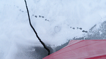 The only trace of a polar bear were these tracks in the snow and ice as the icebreaker plowed past.